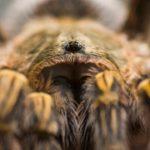 Tarantula ©Pablo Pez