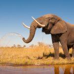 Elefante africano con cuernos de marfil ©Shutterstock