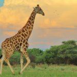 Jirafa africana ©Shutterstock