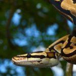 Junglas de Asia serpiente pitón