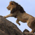 León de crin negra trepando sobre una roca ©Shutterstock