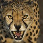 Leopardo ©Shutterstock