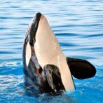 Orca del Ártico ©Shutterstock