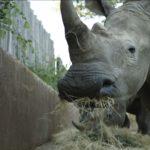 Rinoceronte comiendo