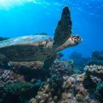 Tortuga marina maldiva flotando sobre los arrecifes de coral ©Shutterstock