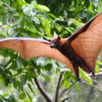 Zorro volaror ©Shutterstock