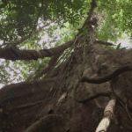 Árbol en el Amazonas