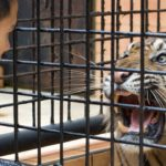 Cuidador con tigre ©E Buxton
