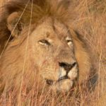 León entre pasto ©Barbara Reed