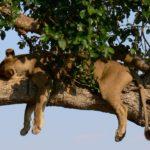 Leona durmiendo ©Barbara Reed