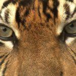 Ojos de Tigre ©E Buxton
