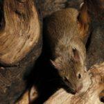 Ratón ©Acajú Comunicación Ambiental, S. L