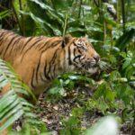 Tigre a punto de saltar ©E Buxton