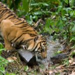 Tigre bebiendo agua ©E Buxton