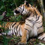 Tigre con ciervo ©E Buxton