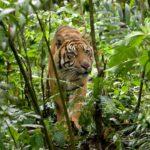 Tigre en el bosque ©E Buxton