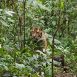 Tigre en el bosque 2 ©E Buxton