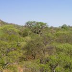 Árboles africanos