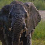 Elefante de frente