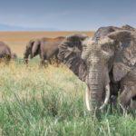 Elefantes en pradera