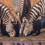 Grupo de zebras africanas