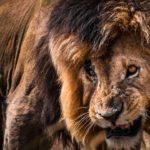 León hambriento