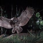 Planeta Natural búho volando