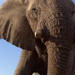 Planeta Natural elefante