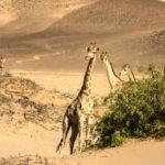 Planeta Natural jirafas en desierto