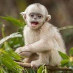Mono de nariz chata 1 Shangri-La
