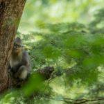 Mono de nariz chata 3 Shangri-La
