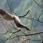 Mono de nariz chata 5 Shangri-La
