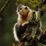 Mono de nariz chata 6 Shangri-La