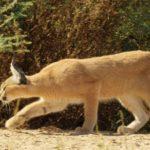 Acecho caracal, gato es un especialista en caza. ©All media, WW, in perpetuity for TMFS