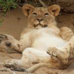 Cachorro de león relajado en la zona desértica. ©All media, WW, in perpetuity for TMFS