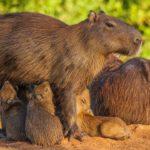 Carpincho alimentando a sus crías. ©All media, WW, in perpetuity for TMFS