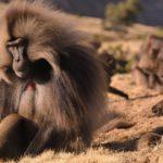 Grupo de Geladas, macho, Tierras Altas de Etiopía. ©Harald Pokieser - All media, WW, in perpetuity for TMFS