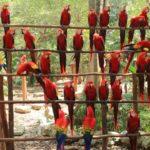 Guacamayas rojas. Yucatán, México. ©Matt Hamilton - All media, WW, in perpetuity for TMFS