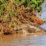 Jaguar saliendo del agua. ©All media, WW, in perpetuity for TMFS