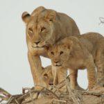 La manada de leones asegura el cuidado y la protección de sus cachorros. ©All media, WW, in perpetuity for TMFS