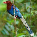 Las urracas azules de Sri Lanka. ©Joe Loncraine - All media, WW, in perpetuity for TMFS