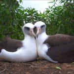 Laysan Albatross pareja de dos hembras. ©Ann Johnson Prum - All media, WW, in perpetuity for TMFS