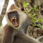 Los langures grises son una especie muy social que vive en grupos. ©All media, WW, in perpetuity for TMFS