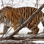 Los tigres son los gatos más grandes del mundo. ©All media, WW, in perpetuity for TMFS