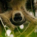 Mono araña lanudo en peligro de extinción. ©All media, WW, in perpetuity for TMFS