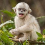 Mono de pocos meses de nariz chata y pelaje blanco puro. ©Jacky Poon - All media, WW, in perpetuity for TMFS