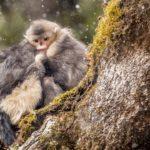 Monos de nariz chata atrapados en la nieve. ©Jacky Poon - All media, WW, in perpetuity for TMFS
