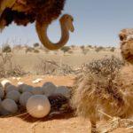 Polluelos de avestruz, Desierto de Kalahari, Namibia. ©Martyn Colbeck - All media, WW, in perpetuity for TMFS