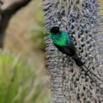 Suimanga malaquita, Parque Nacional Ruwenzori. ©Harald Pokieser - All media, WW, in perpetuity for TMFS