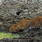 Vida extrema jaguar